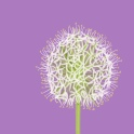 white allium - ipad sketch by chris cowdrill