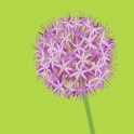 pink allium - ipad sketch by chris cowdrill